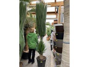 Yucca elephantipes, juka, původ rostliny Španělsko. 200-250 cm