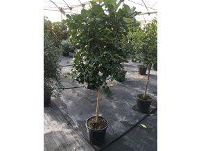 Pomerančovník, původ rostliny Španělsko. 160 cm