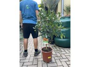 Pomerančovník, původ rostliny Španělsko. 90 cm