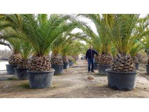 Phoenix canariensis,Datlová palma, Datlovník, původ palmy Španělsko. 350 cm, kmen 60 cm.