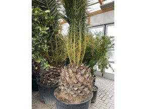 Phoenix canariensis, Datlová palma, Datlovník, původ palmy Španělsko. 350 cm, kmen 70+ cm.