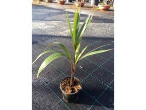 Hyophorbe Leganicaulis, lahvová palma, původ palmy Španělsko. 40 cm