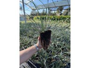 Yucca Rostrata, původ rostliny Španělsko . 20 cm.
