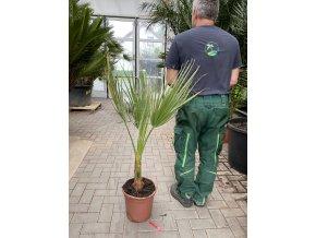 Washingtonia Filifera , palma , původ palmy Španělsko. 50 cm