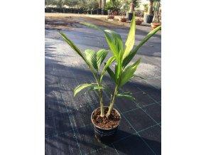 ARCHONTOPHOENIX CUNNINGAMIANA, PALMa, dvě rostliny. 40 cm.