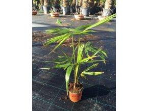Coccothrinax barbadensis, 50 cm.