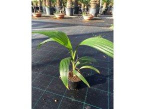 Pritchardia hillebrandii, 40 cm.