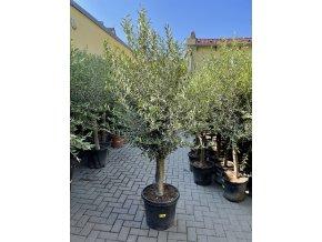 Olea europea - Olivovník 170 cm