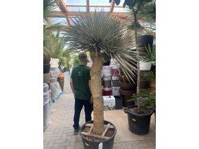 Yucca Thomsoniana, Výška rostliny 180 cm, rozvětvená.