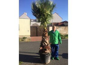 Washingtonia robusta , palma , původ palmy Španělsko.300cm