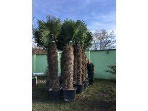 Trachycarpus fortunei, palma, mrazuvzdorná, původ palmy Španělsko. kmen 180 cm+, 260-300 cm