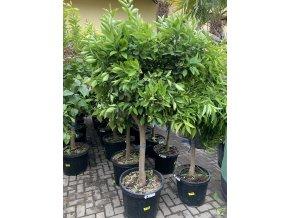 Pomerančovník, původ rostliny Španělsko. 150 cm