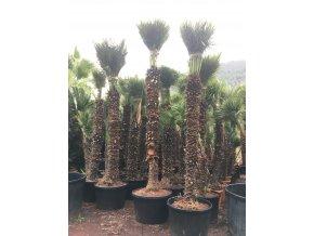 Chamaerops humilis, Trpasličí palma, Žumara, původ palmy Španělsko. 350 cm