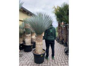 Yucca Rostrata, původ rostliny Španělsko. Výška rostliny 140 cm.
