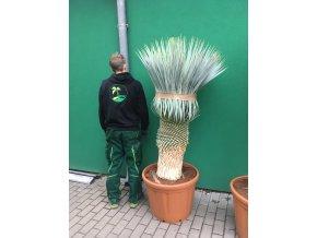 Yucca Rostrata, původ rostliny Španělsko. Výška rostliny 150 cm.
