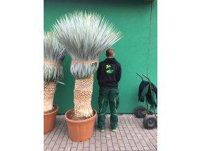 Yucca Rostrata, původ rostliny Španělsko. Výška rostliny 165+ cm