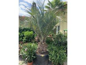 Butia capitata , palma , původ palmy Španělsko. 220 cm
