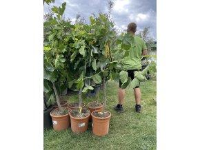Ficus carica, fíkovník. cca 100 cm