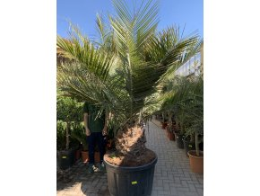 JUBAEA CHILENSIS, CHILSKÁ PALMA, PŮVOD PALMY ŠPANĚLSKO. Výška rostliny 220  CM