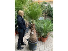WASHINGTONIA ROBUSTA , PALMA , KMEN 60 CM. 190 cm+