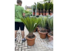 cycas revoluta, cykas revoluta, kmen-20-cm, výška rostliny min. 100 cm.