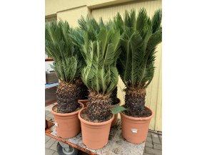 cycas revoluta, cykas revoluta, kmen-25-cm, výška rostliny min. 100 cm.