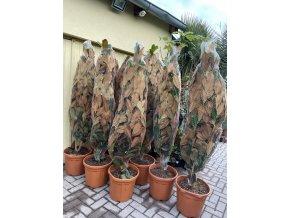 MAGNOLIE GRANDIFLORA GALLISSONIENSIS, strom, 200 cm+