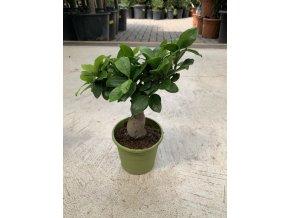 Ficus microcarpa compacta 20 cm