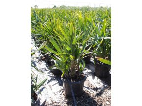 Rhapidophyllum hystrix 25l (1)