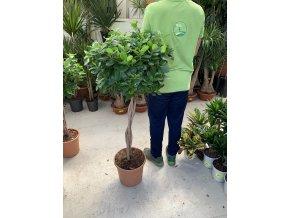 Ficus moclame 130 cm, JEDNOTNÁ CENA PRONÁJMU NA 1-7 DNÍ.