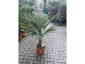 Trachycarpus fortunei, Konopná palma, mrazuvzdorná, původ palmy Španělsko. kmen 20 cm+, výška 120 cm