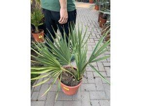 Sabal minor, Trpasličí Palmetto palma, původ palmy Španělsko. 80 cm