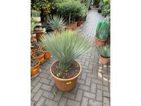 YUCCA ROSTRATA -20°C  Výška rostliny 60 cm.
