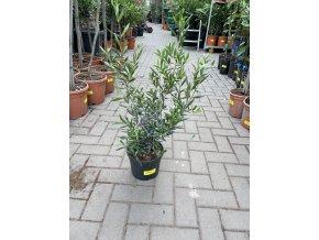 Olea europea , Olivovník. Keř. 40 cm