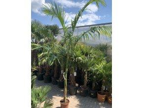 Archontophoenix cunningamiana, palma, 250 cm