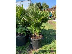 Chamaerops humilis vulcano , palma , 100 cm