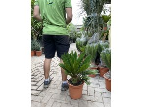 Cycas revoluta, Cykas revoluta, 50 cm