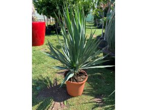 Yucca gloriosa, juka, Výška 80 cm+