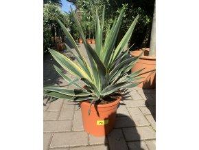 Yucca gloriosa variegata 65 cm.