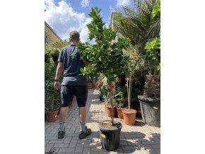 Pomerančovník, původ rostliny Španělsko. 140 cm+
