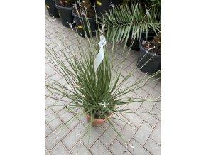 Dasylirium Serratifolium, původ rostliny Španělsko. 80 cm.