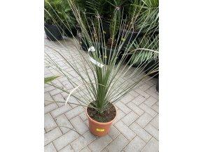 Dasylirium Longissimum, původ rostliny Španělsko. 80 cm