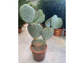 Opuntia robusta 100 cm