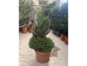 Aloe Perfoliata 60 cm