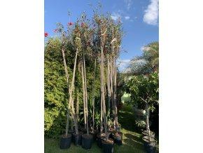 Ibišek , Hibiscus. 300 cm