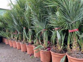 Chamaerops humilis, Trpasličí palma, Žumara, původ palmy Španělsko 100 cm