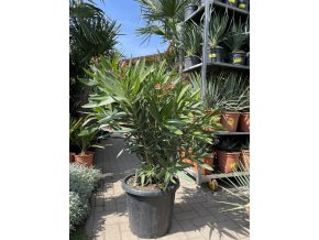 Nerium Oleander - Oleandr 140+  cm