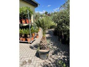 Chamaerops humilis var. Cerifera, Modrá trpasličí palma, Žumara, původ palmy Španělsko. 160 cm
