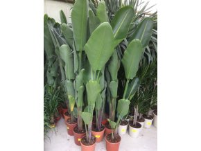 Strelitzia augusta, původ Španělsko 160 cm