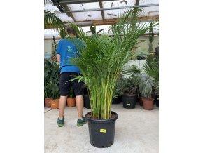 Areca lutescens, chrysalidocarpus, dypsis. 150 cm